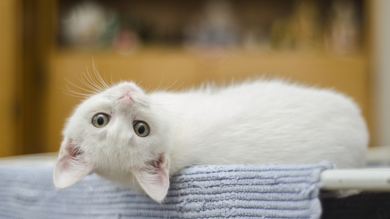 кошка, кот, котенок, лежит, белый, взгляд, животные
