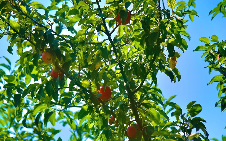 яблоки, небо, плоды, ветки
