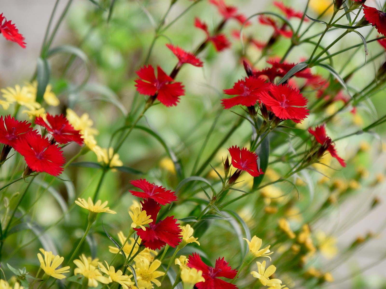васильки, цветы, цветение, красный