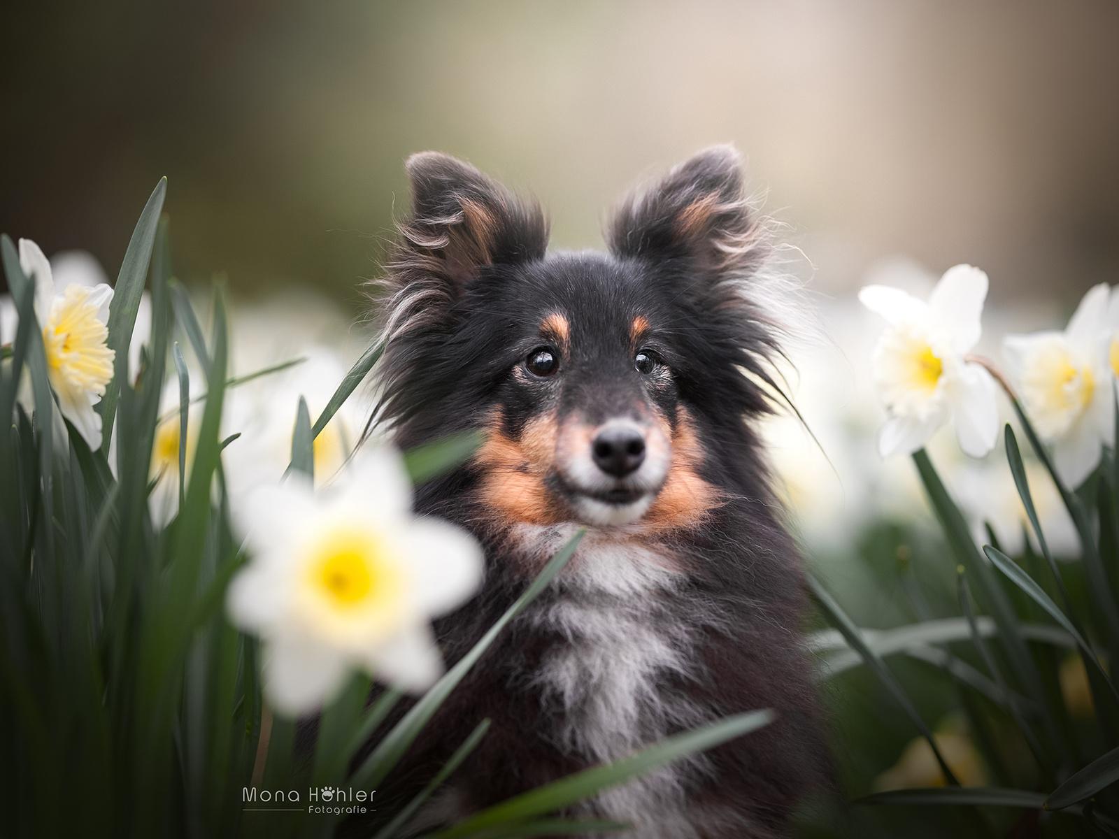 животное, собака, пёс, шелти, природа, цветы, нарциссы