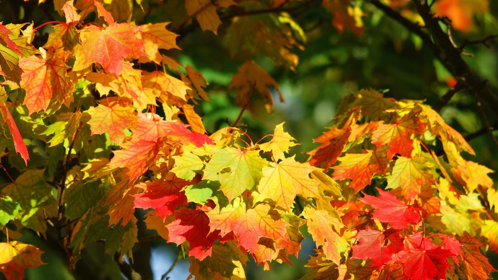 листья, клён, осень