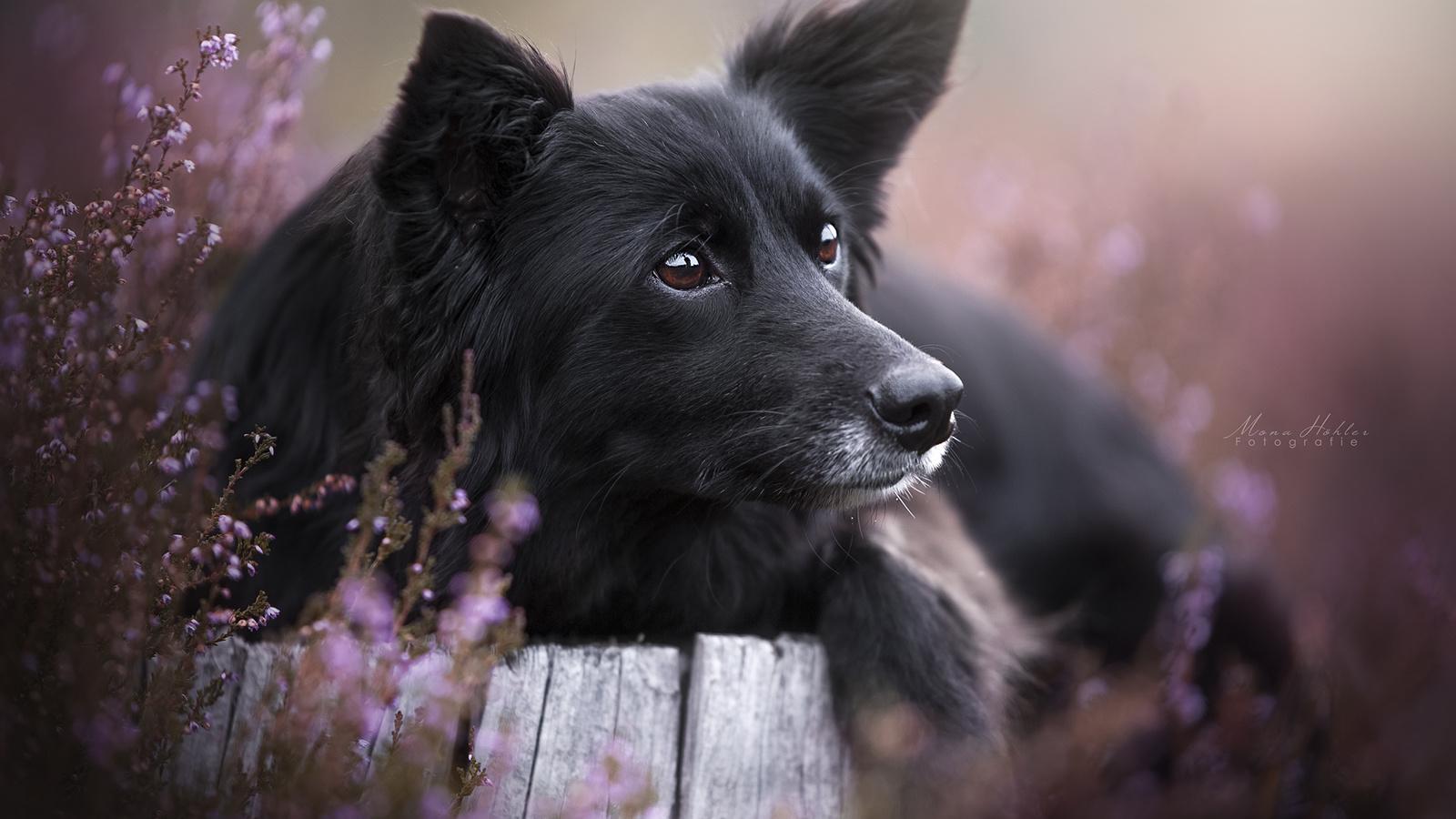 животное, собака, пёс, бордер-колли, голова, взгляд, природа, пень