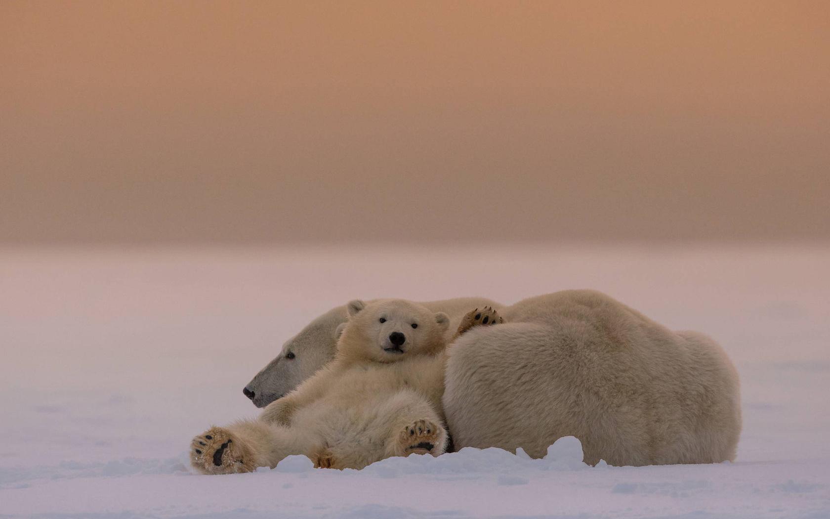 белые медведи, медведица, медвежонок, снег