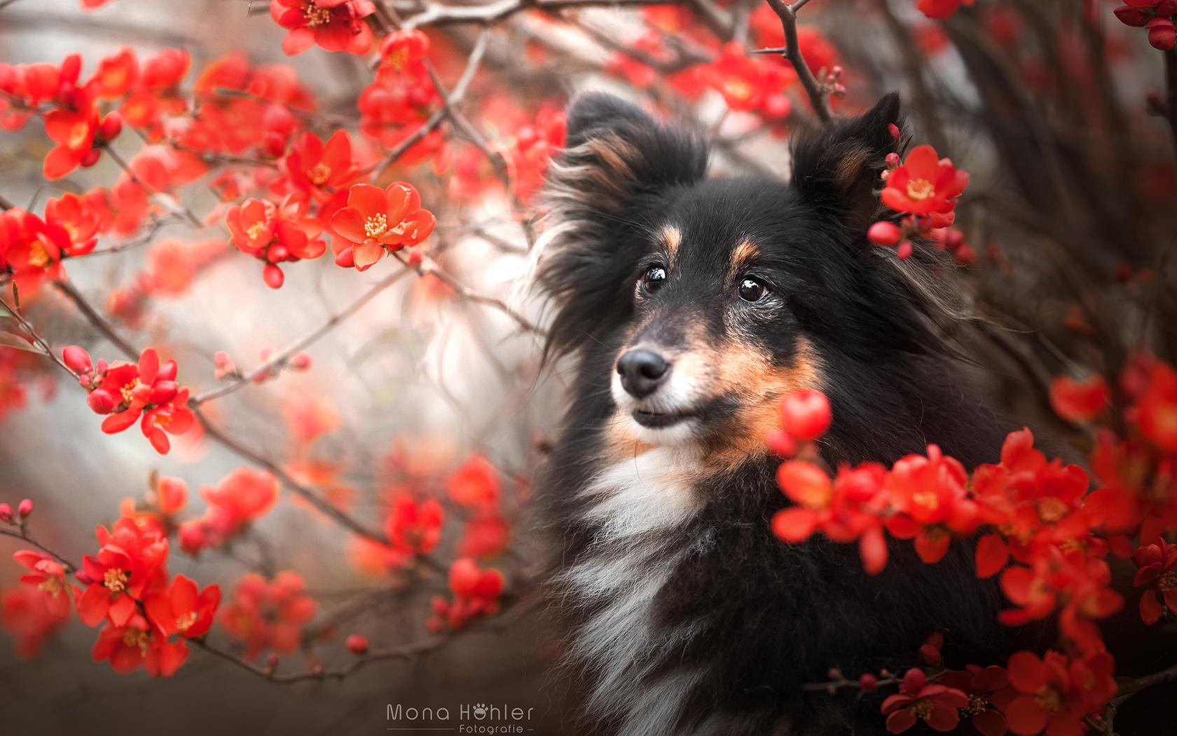 животное, собака, пёс, шелти, природа, куст, цветы