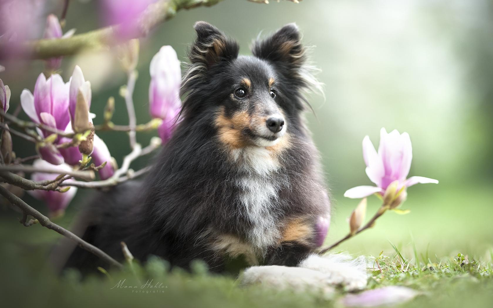 животное, собака, пёс, шелти, природа, ветки, цветки, магнолия