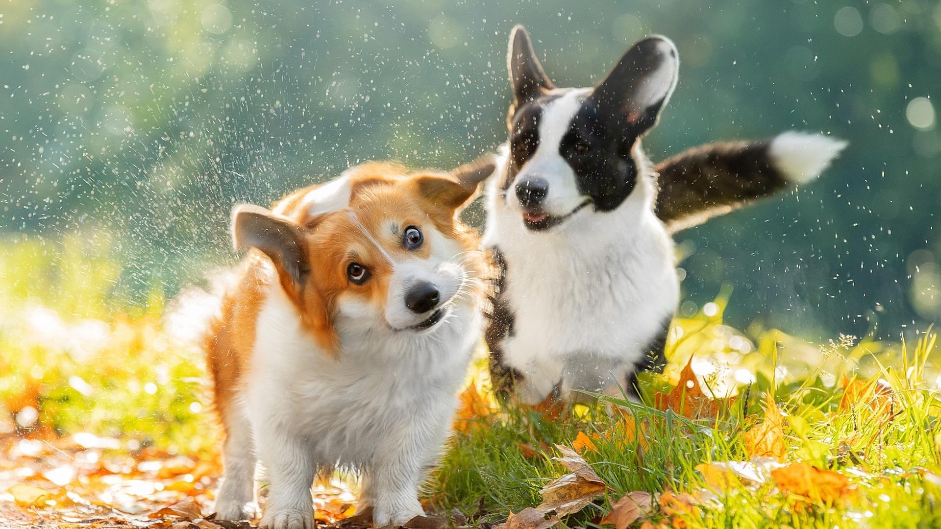 животные, собаки, парочка, природа, трава, осень, листья, боке