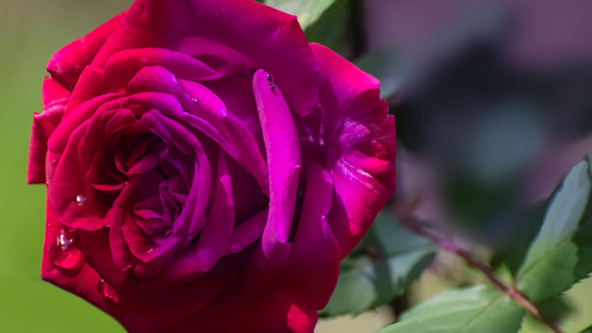 роза, фон, заставка