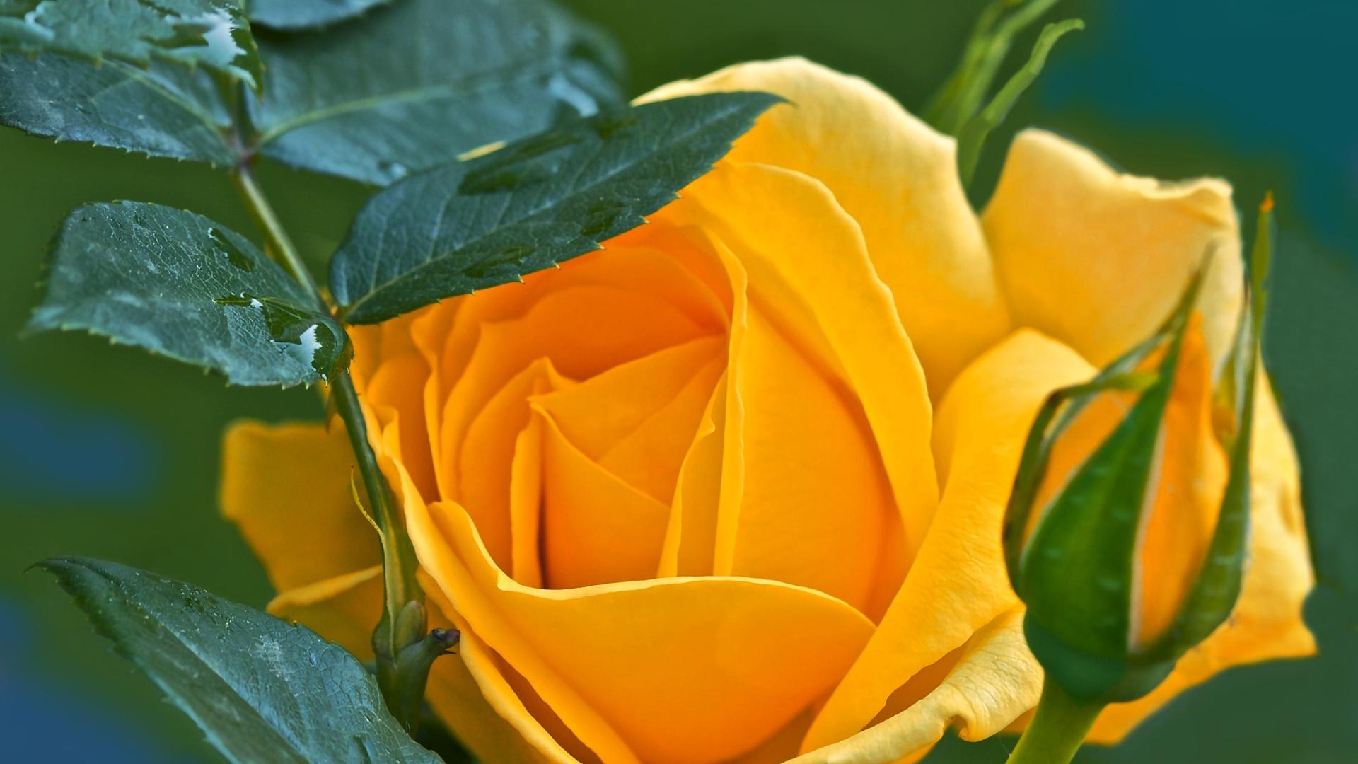 роза, фон, заставка, цвет