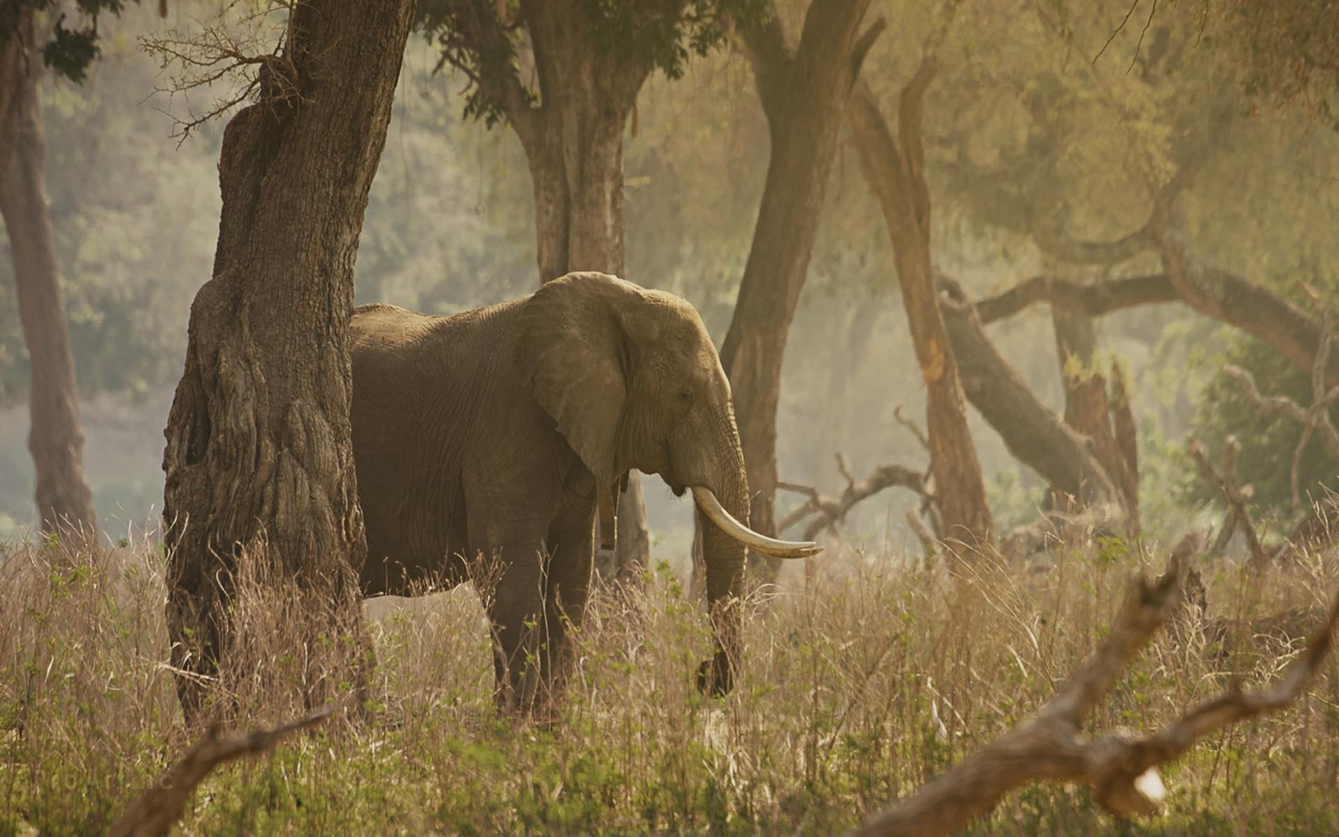 слон, бивни, деревья, трава