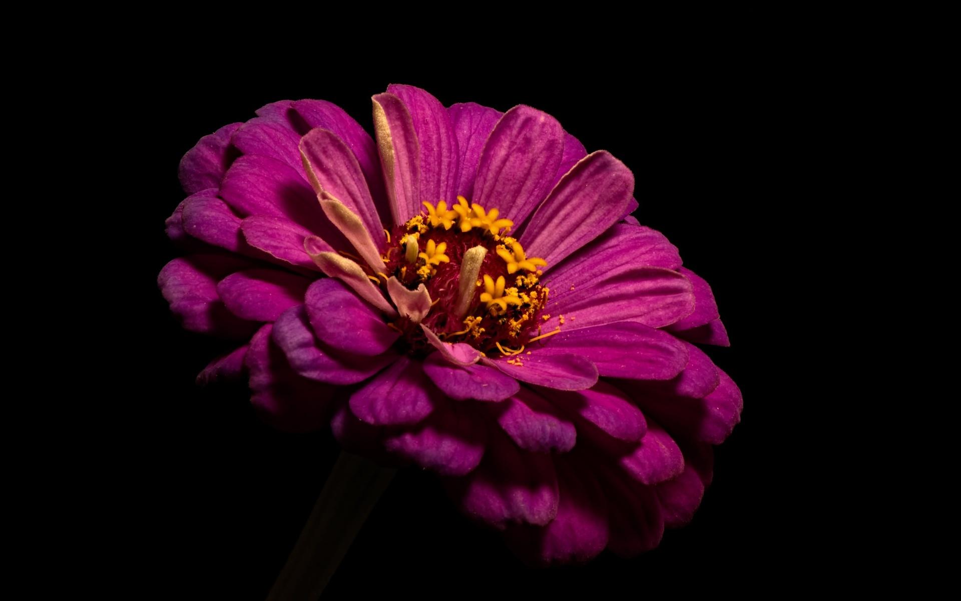 цветок, вблизи, черный, фон