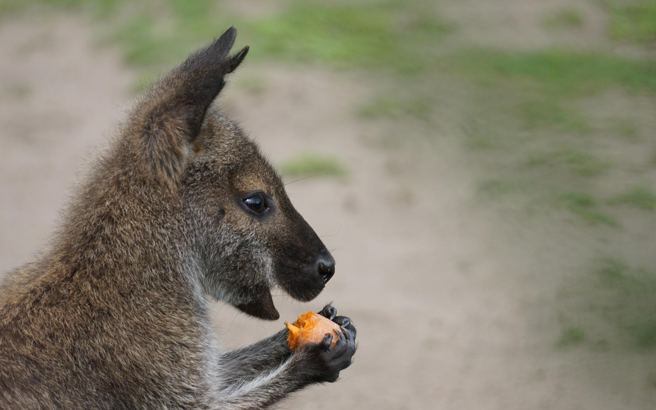 кенгуру, еда, боке