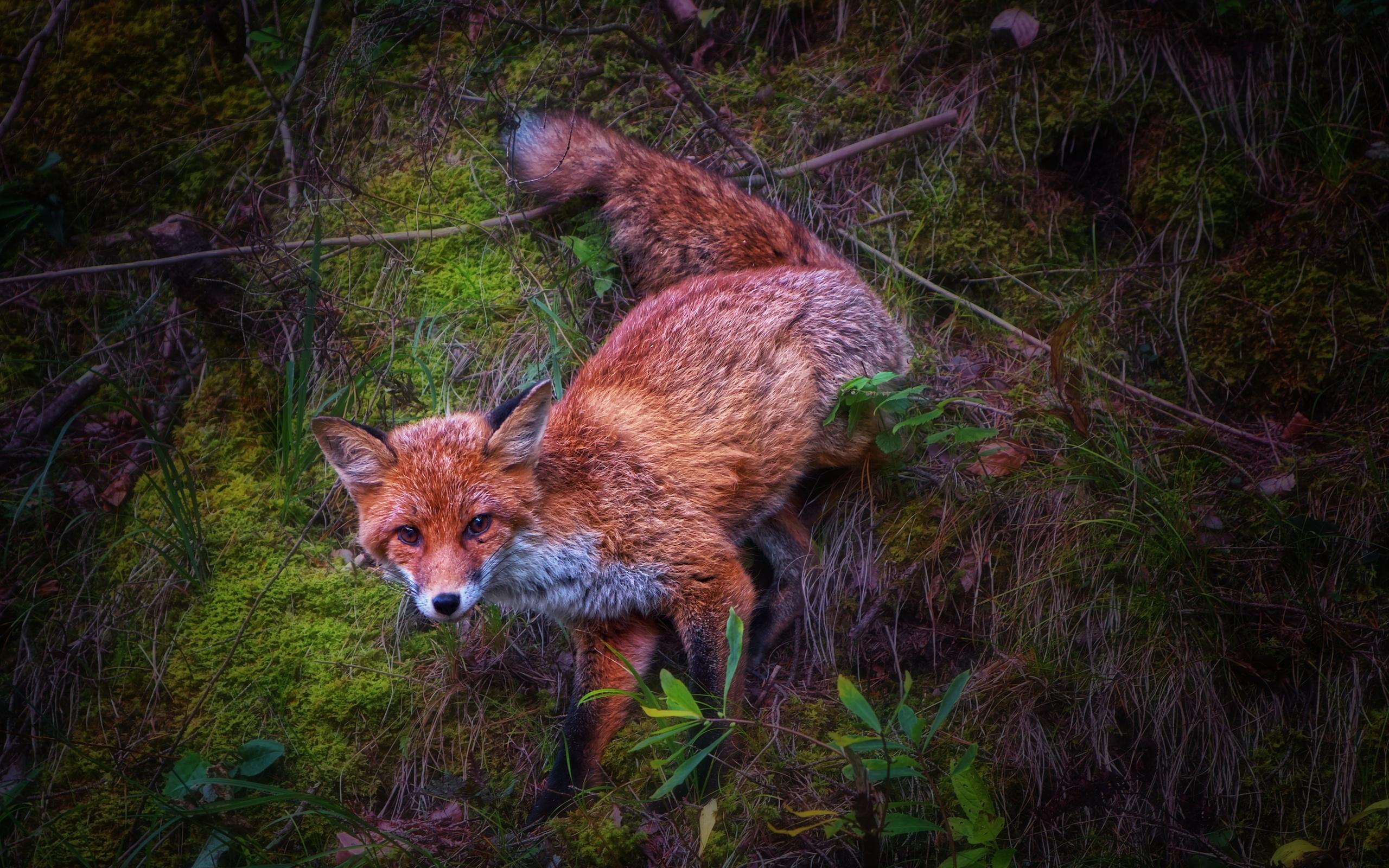 природа, трава, ветки, листья, животное, лиса, лисица