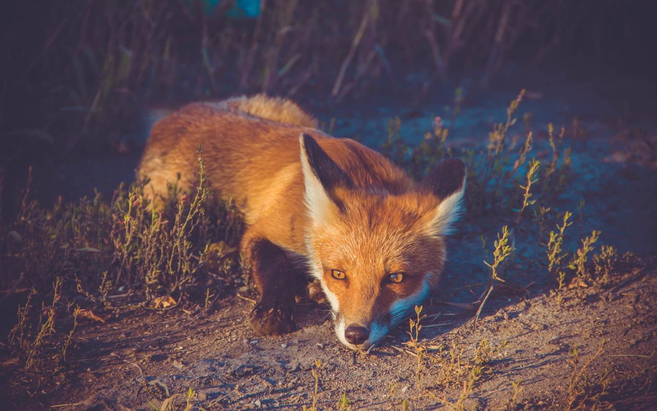 рыжая, лиса