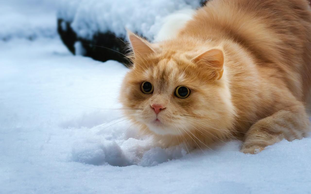рыжий, кот, снег, взгляд, кошка
