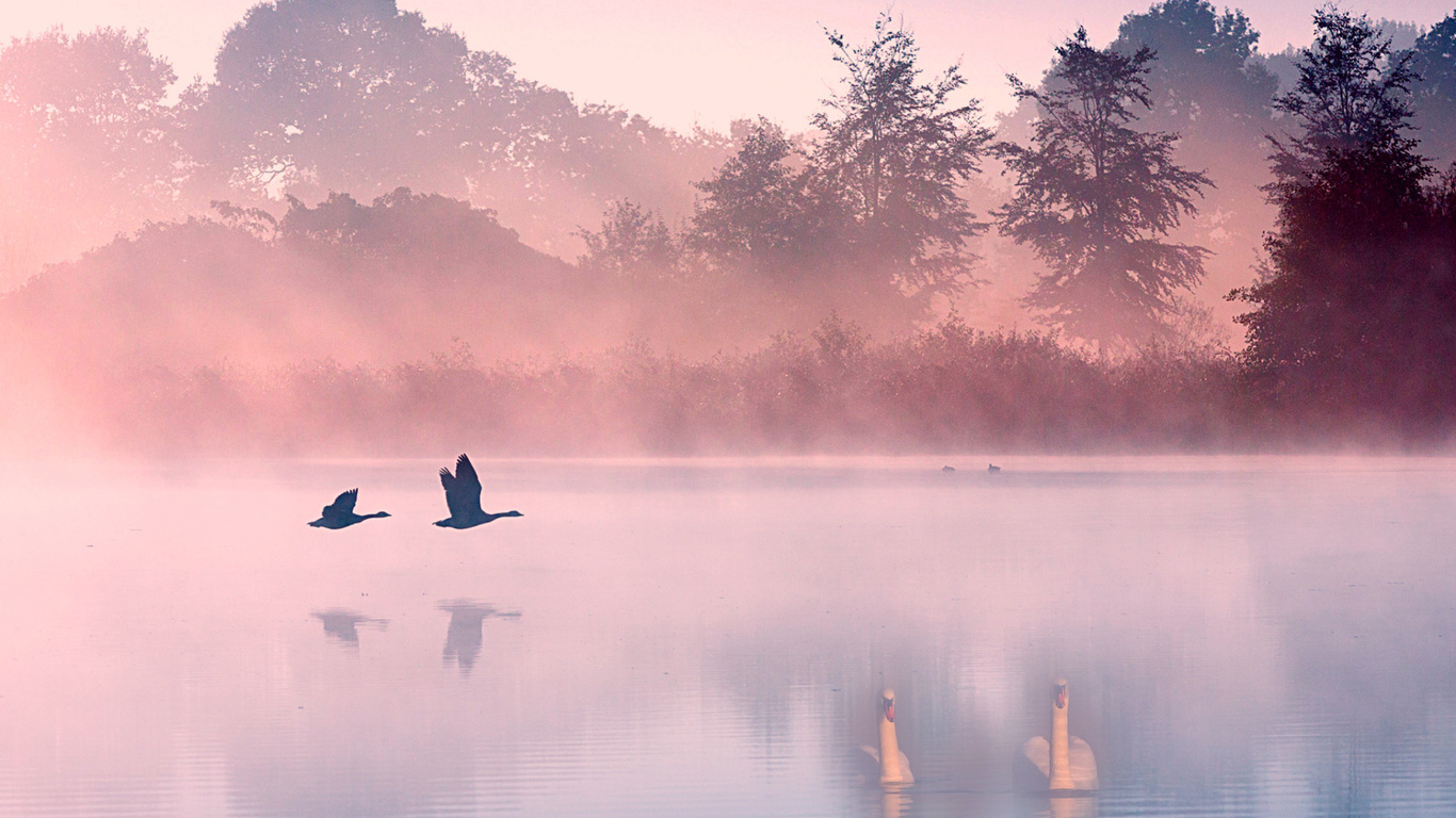 озеро, лебеди, туман, утро