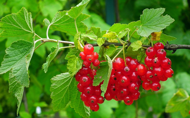 смородина, красная, листья