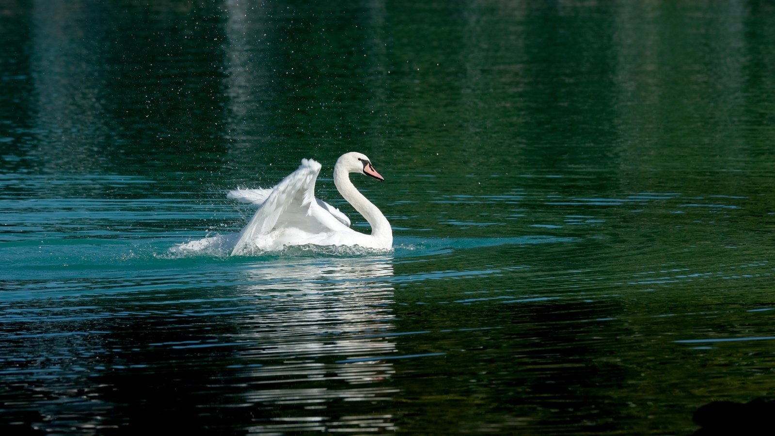 лебедь, вода