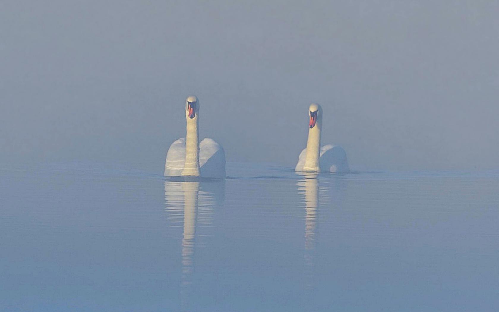 лебеди, пара, туман