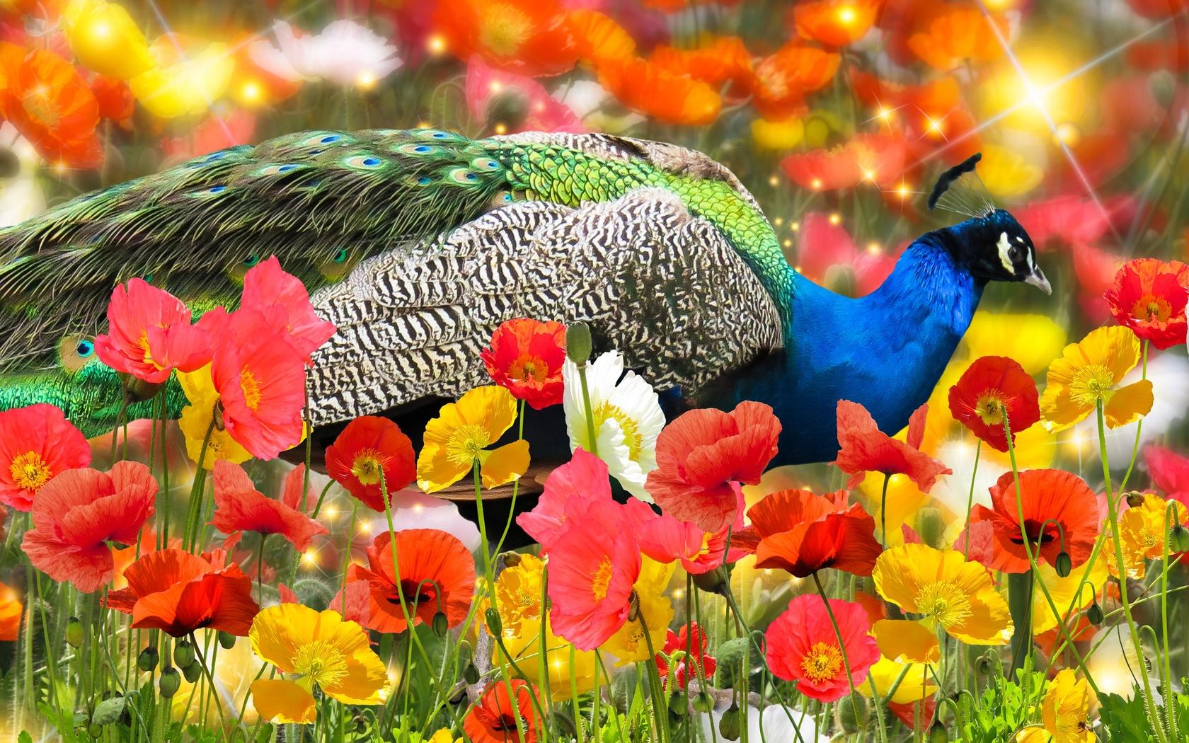 павлин, цветы
