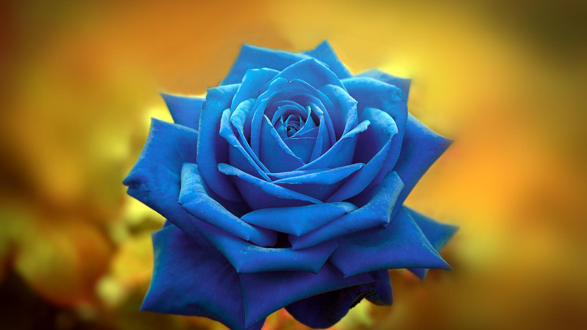 фон, роза, цвет, обои пидораса, photoshop master, петушиный фотошоп