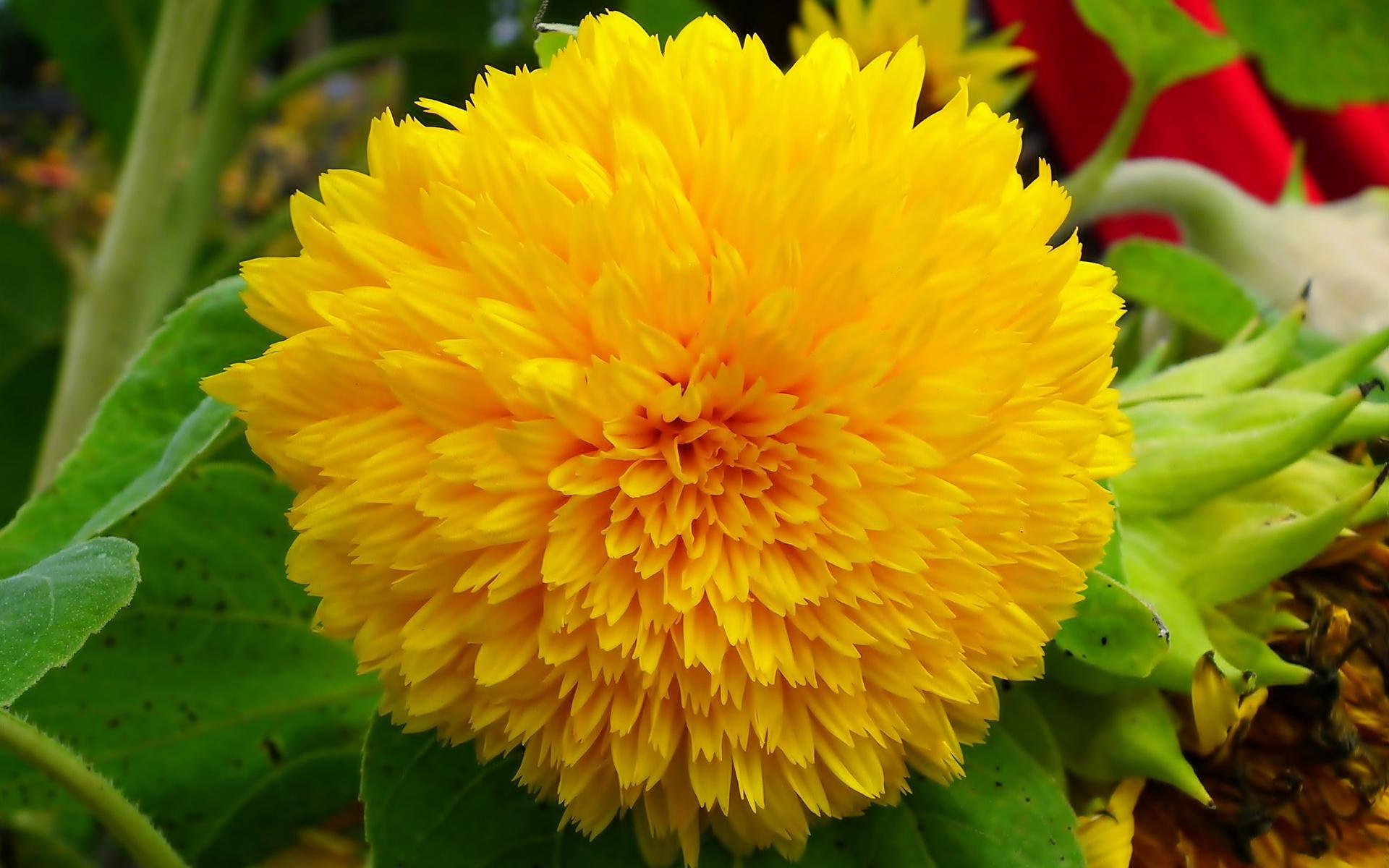 георгина, желтая, цветок