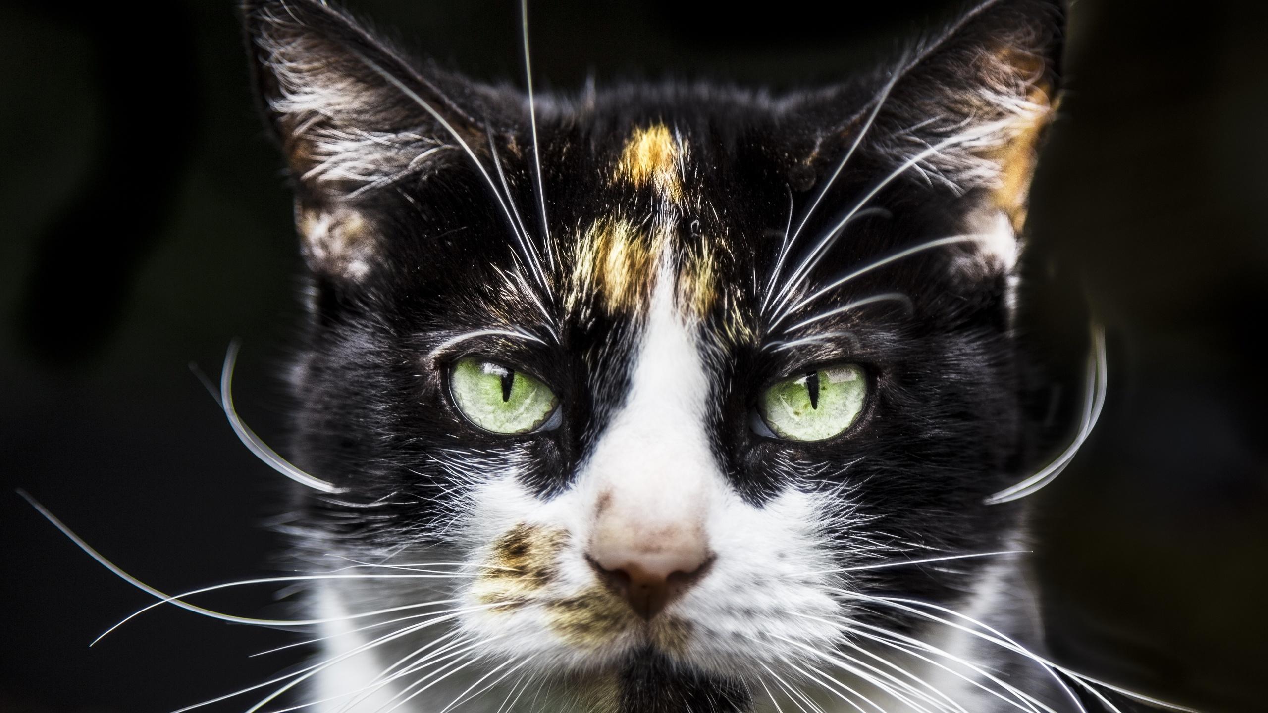 кот, мордочка