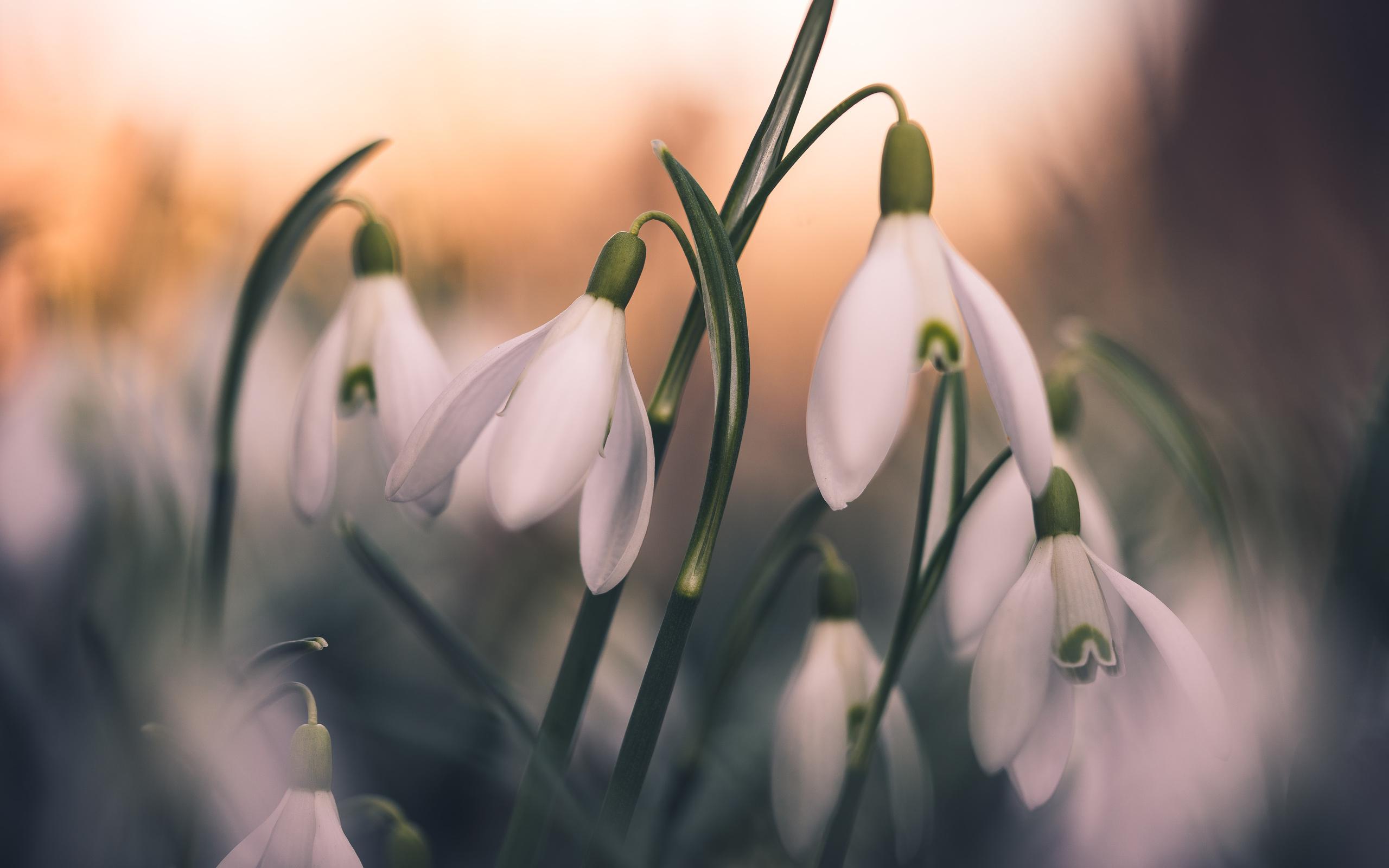 природа, весна, цветы, первоцветы, подснежники, макро