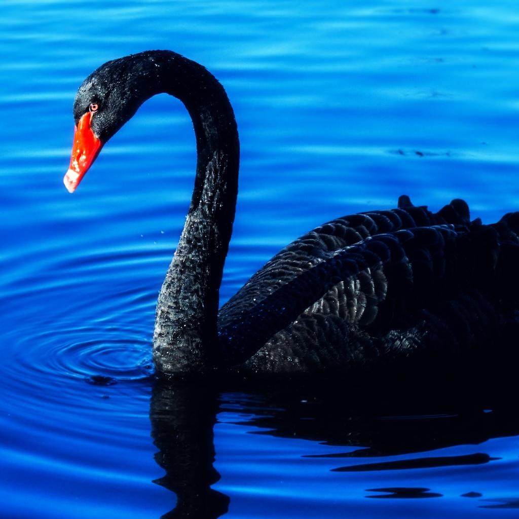 лебедь, черный