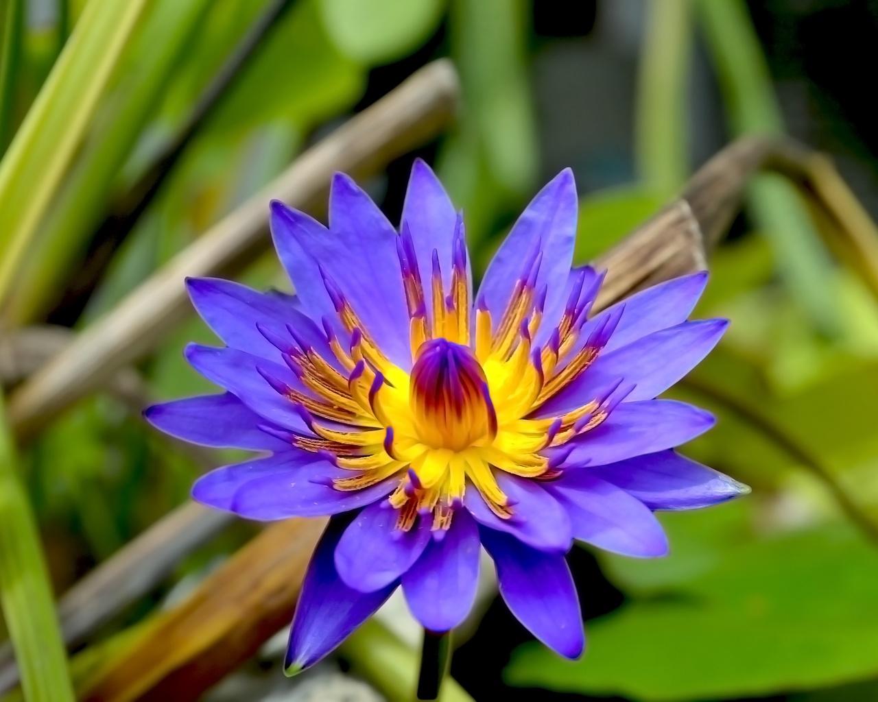 фиолетовый, цветок, лотос