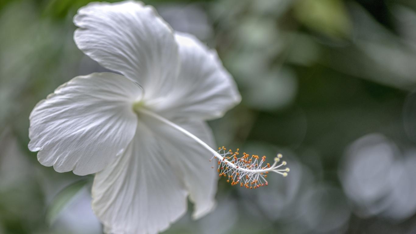гибискус, белый, цветок, пестик