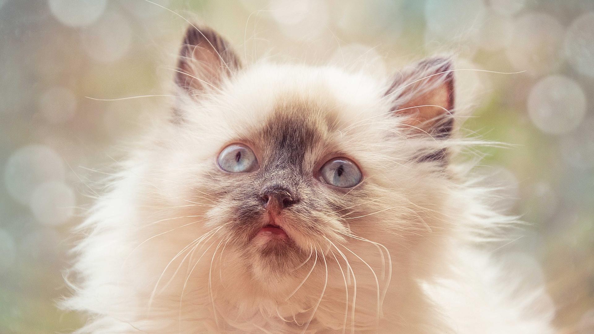 кот, пушистый, усы, шерсть, взгляд