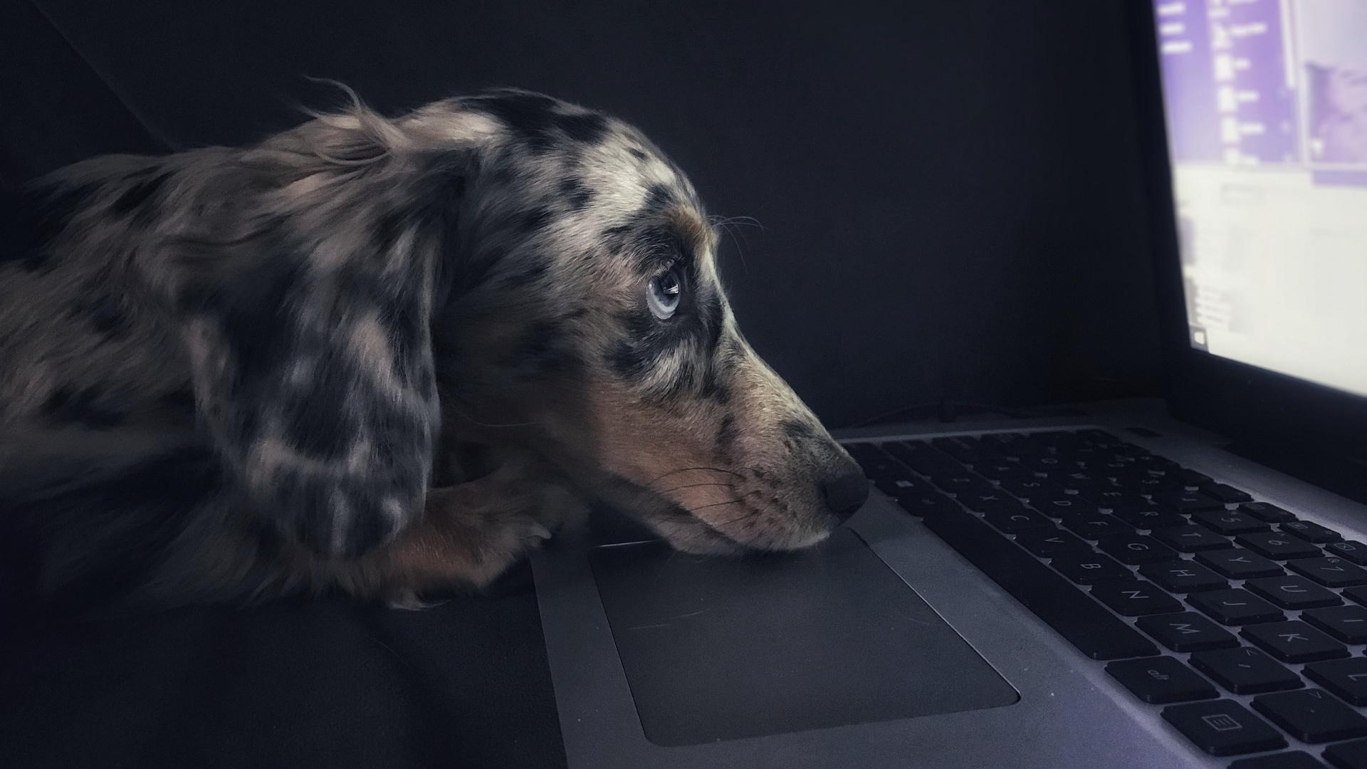 собака, клавиатура, ноутбук