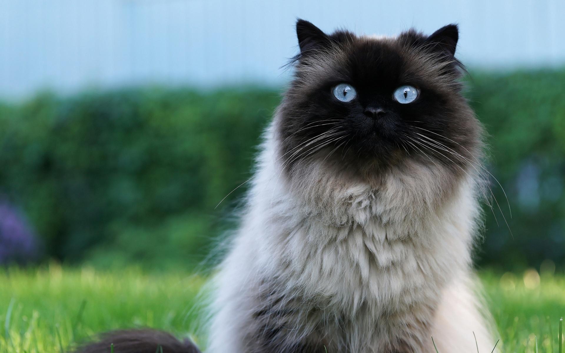кот, голубые глаза, сеамский, пушистый, шерсть