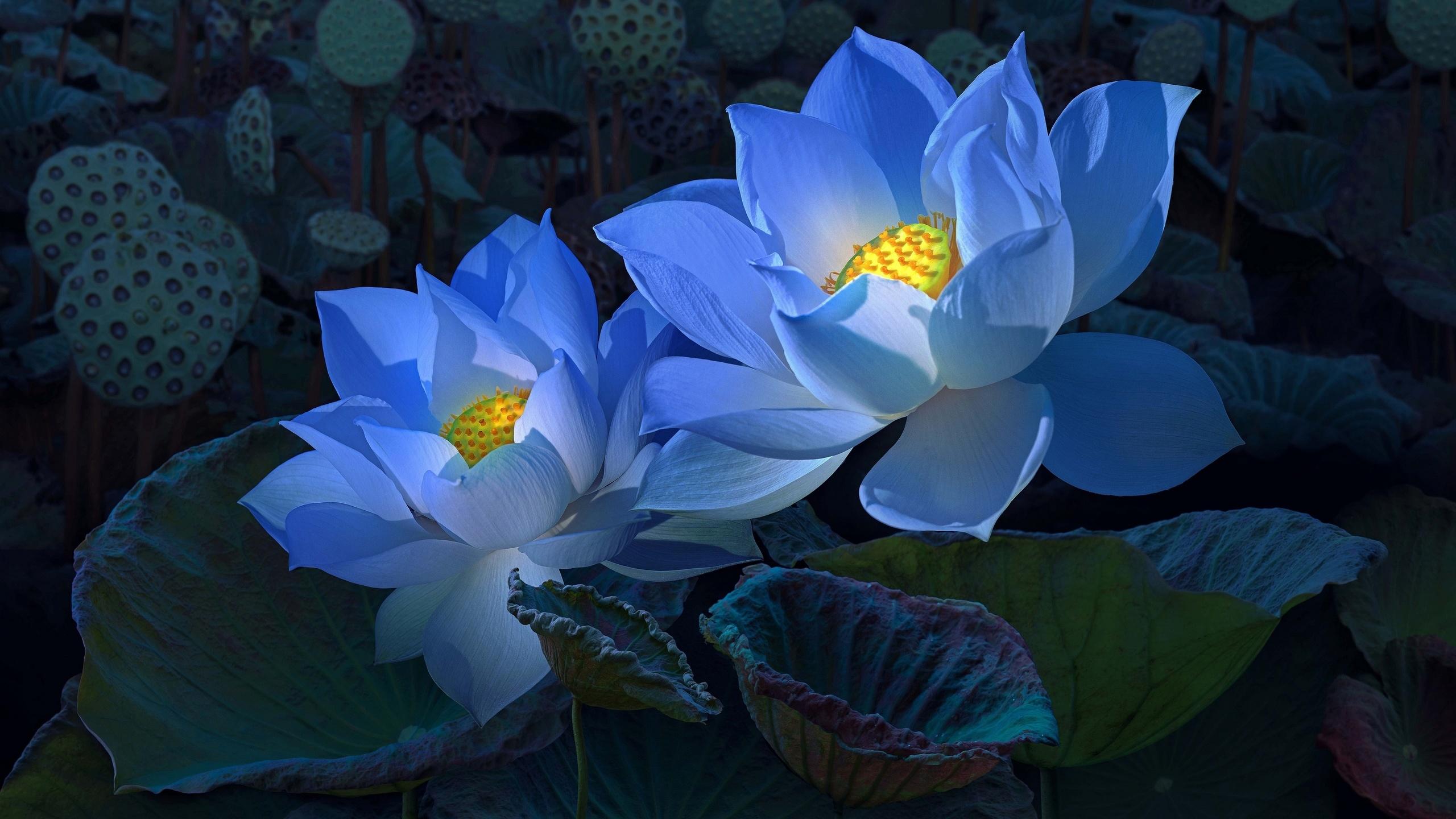 цветы, голубые, лепестки, бутоны