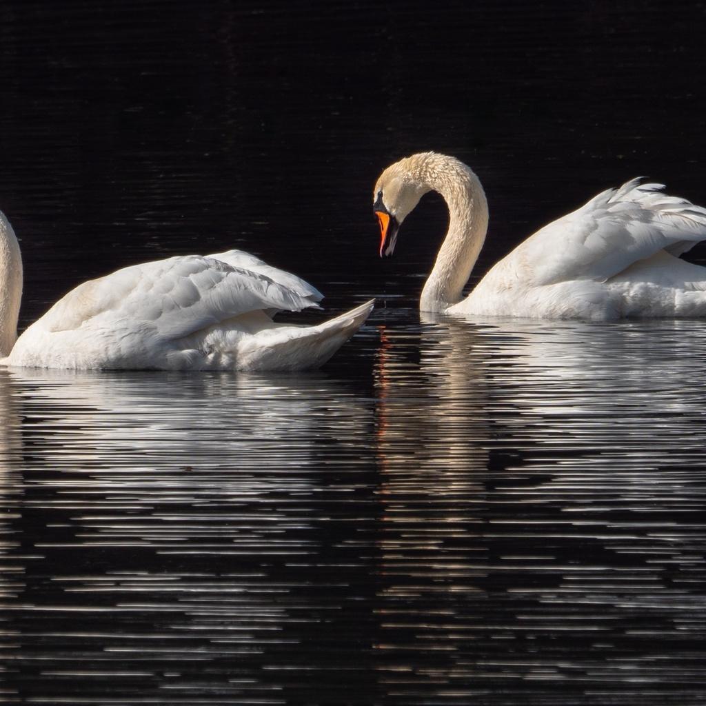 лебеди, пара, птицы