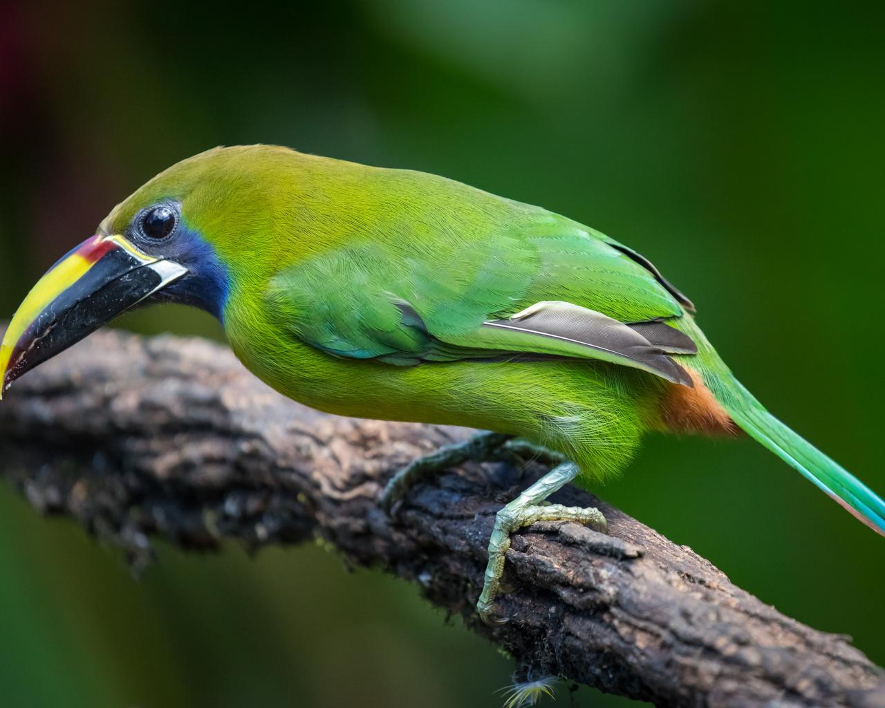 тукан, птица, emerald toucanet, ветка