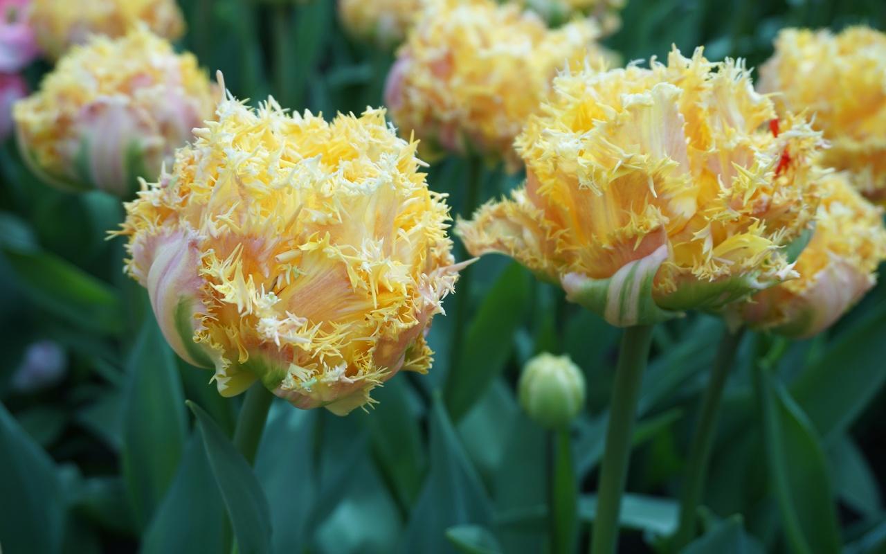 тюльпаны, желтые, экзотика