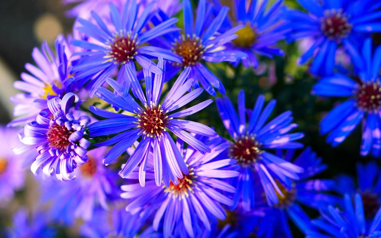 астры, много, крупным планом, синий, цветы