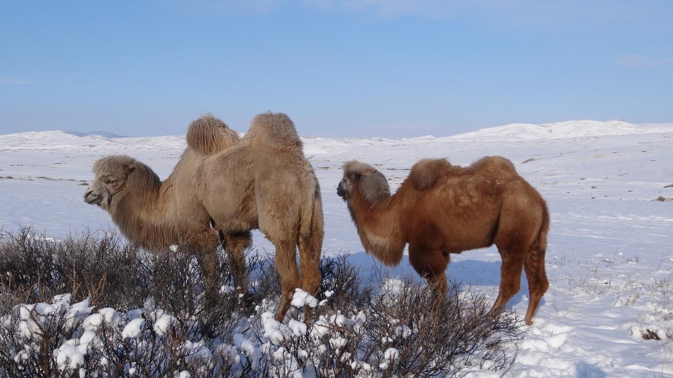 животные, верблюд