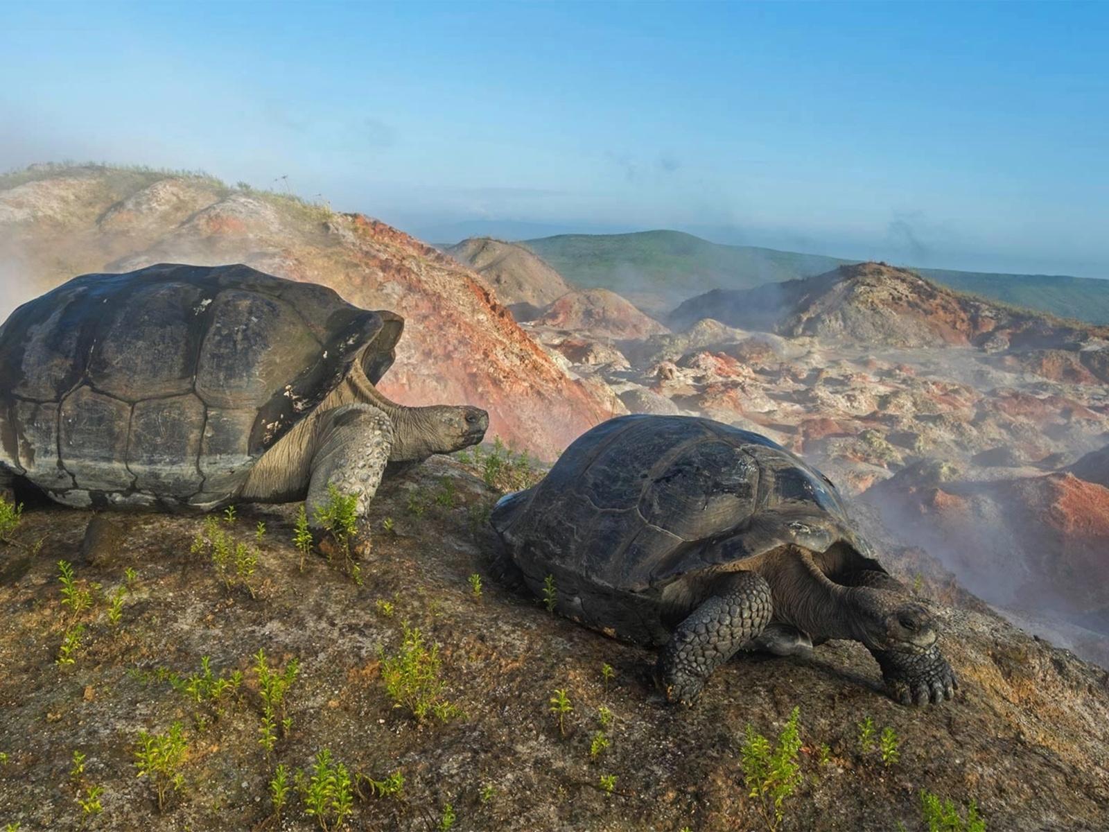 животные, черепаха, пара