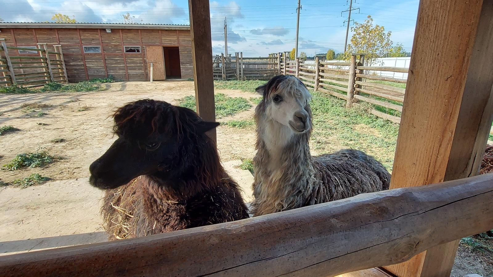 животные, лама