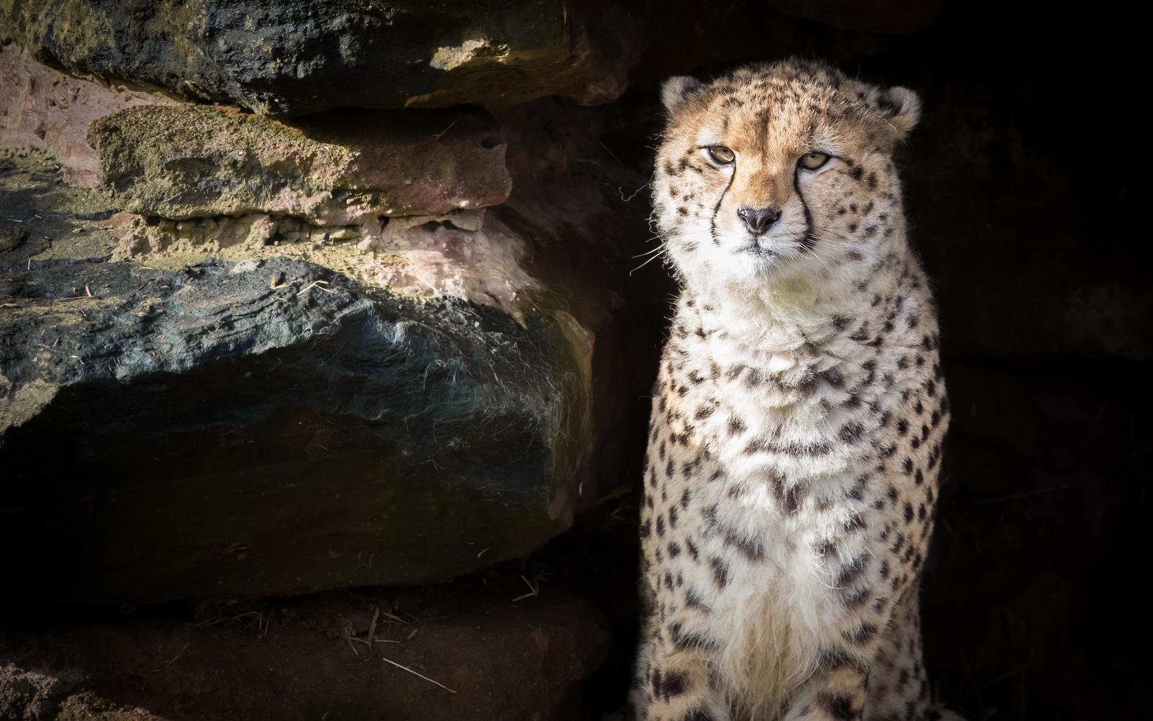 гепард, животное, хищник, большая кошка, дикая природа