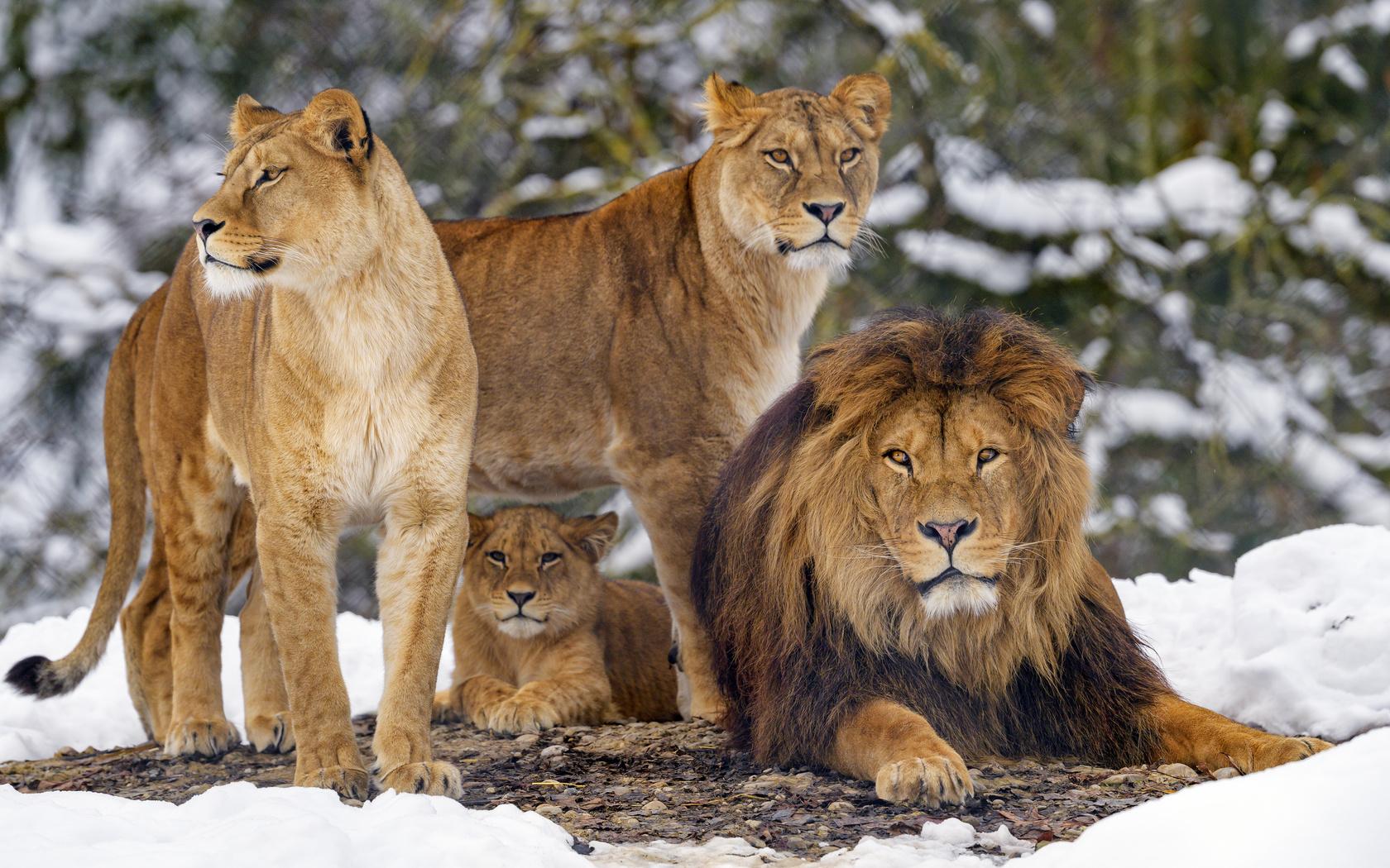львы, животные, хищники, коричневый, дикая природа