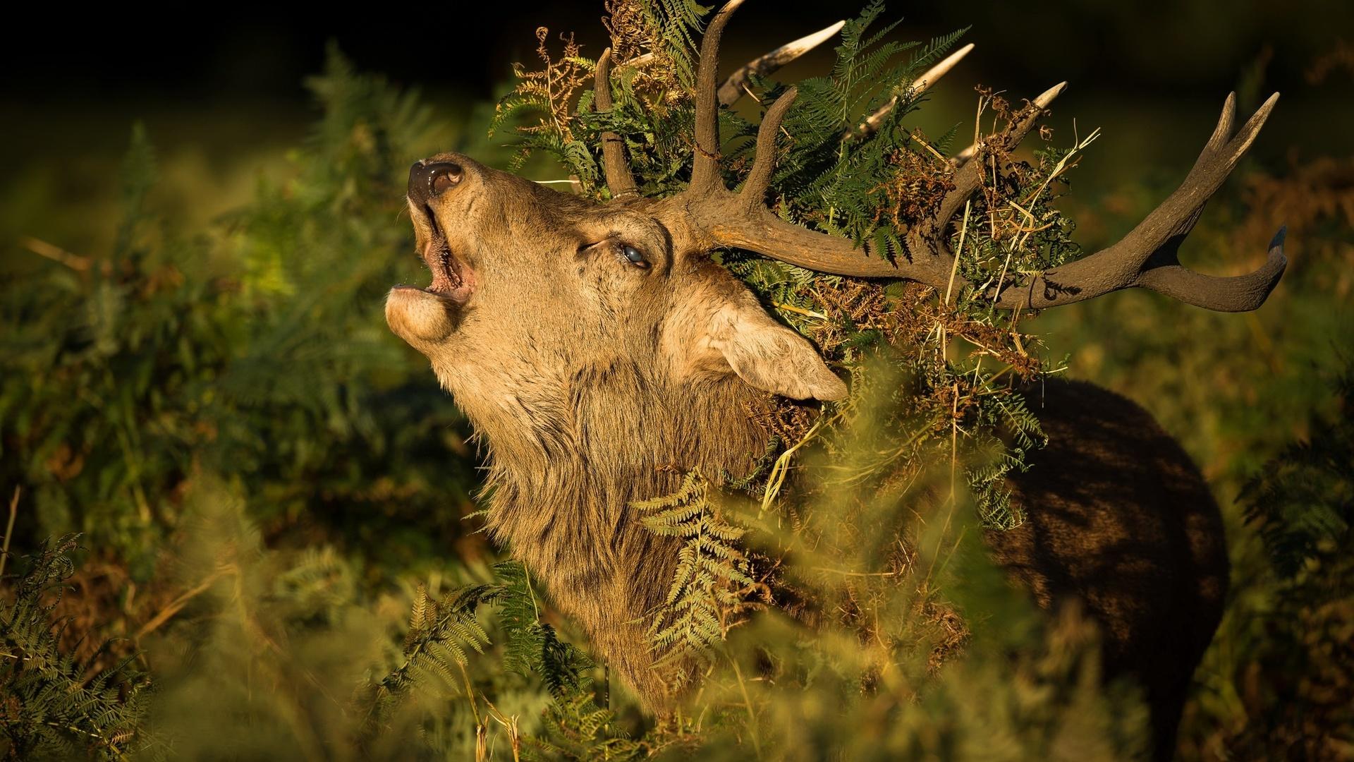 лес, олень, рога, трава