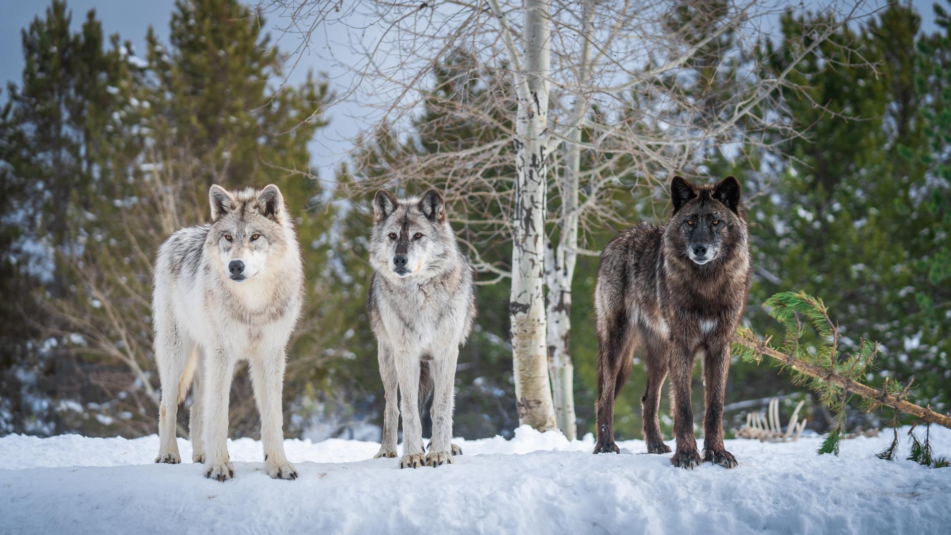 волки, трое, 3, снег, животные