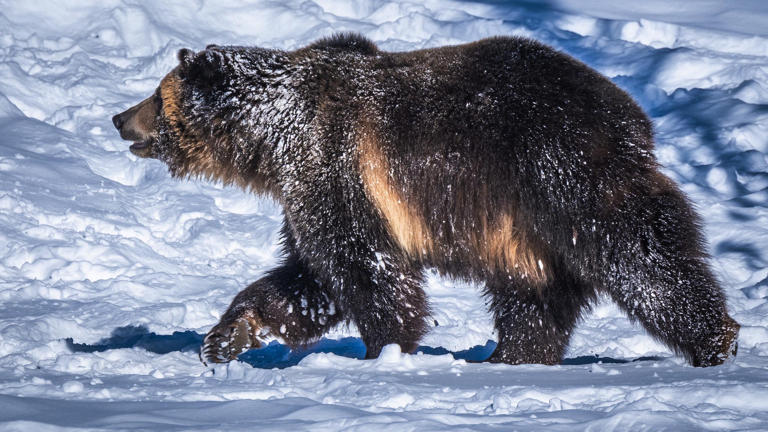 медведь, снег, животные
