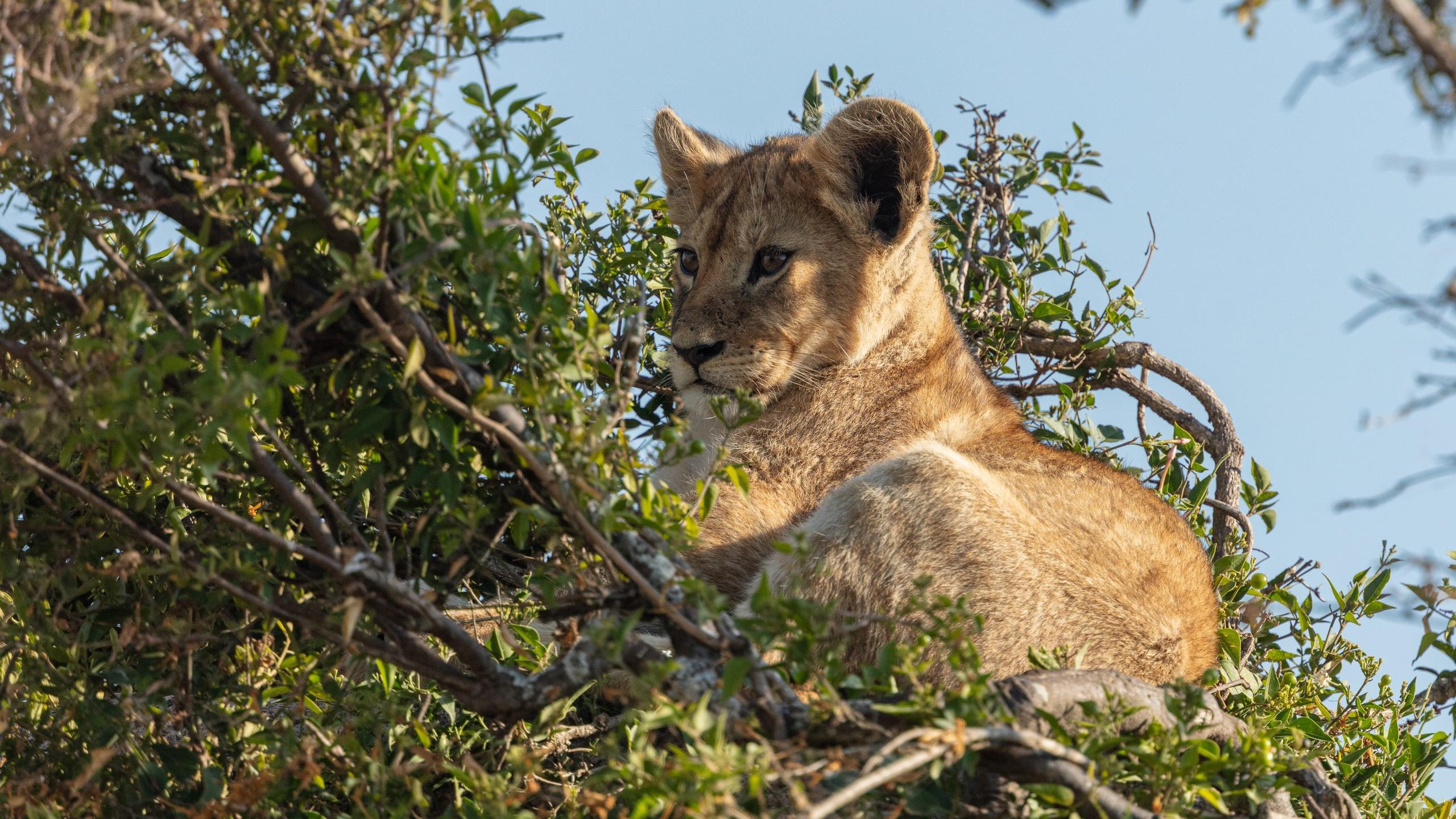 львенок, лев, животное, ветка, дикая природа