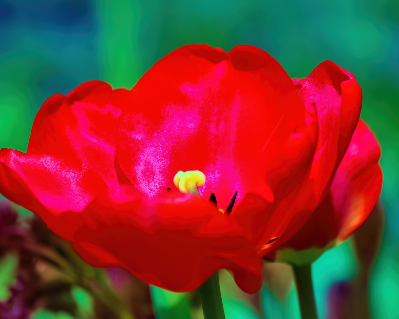тюльпан, весна, цветок, лепестки