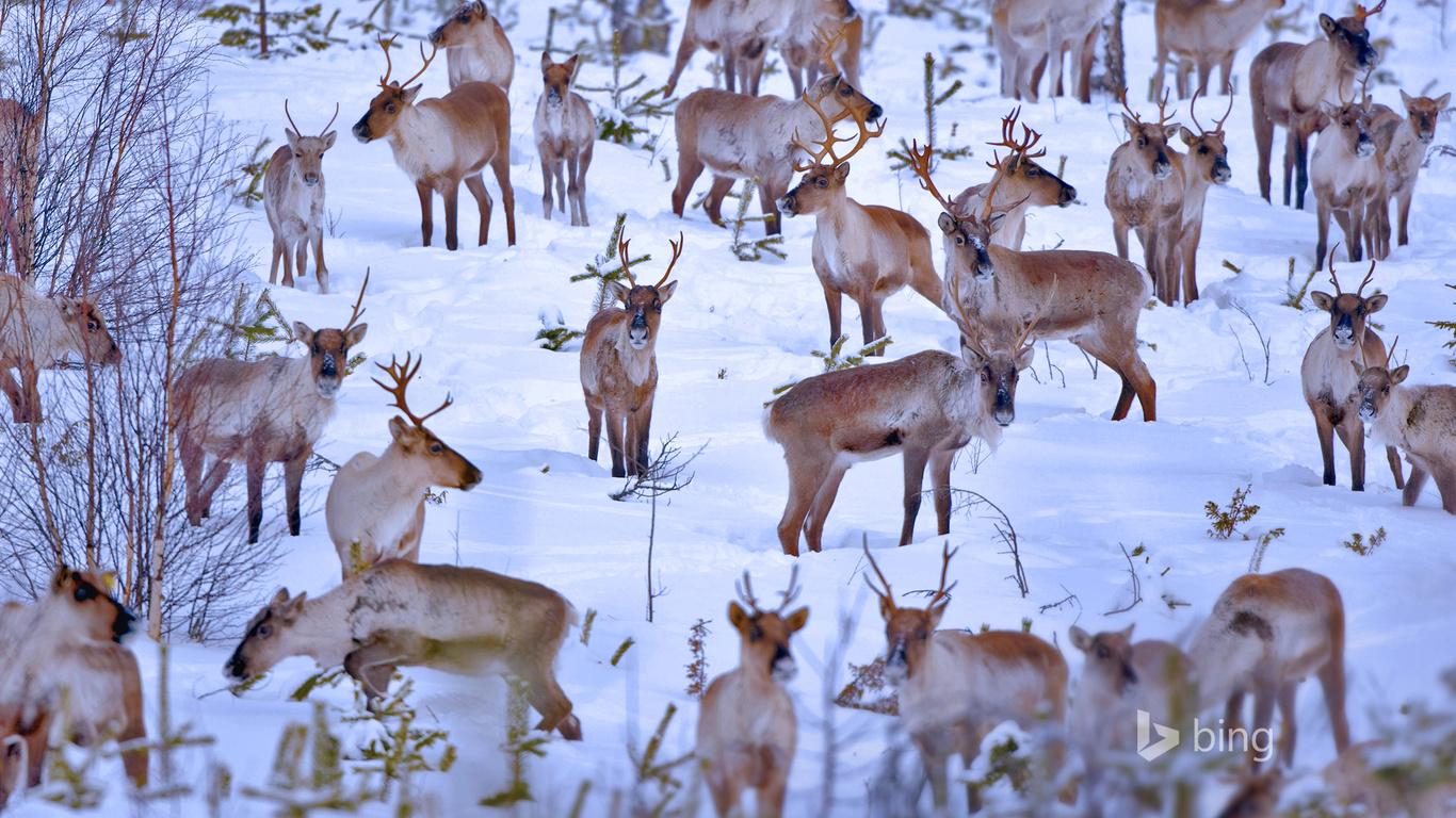северные, олени, стадо, снег, bing