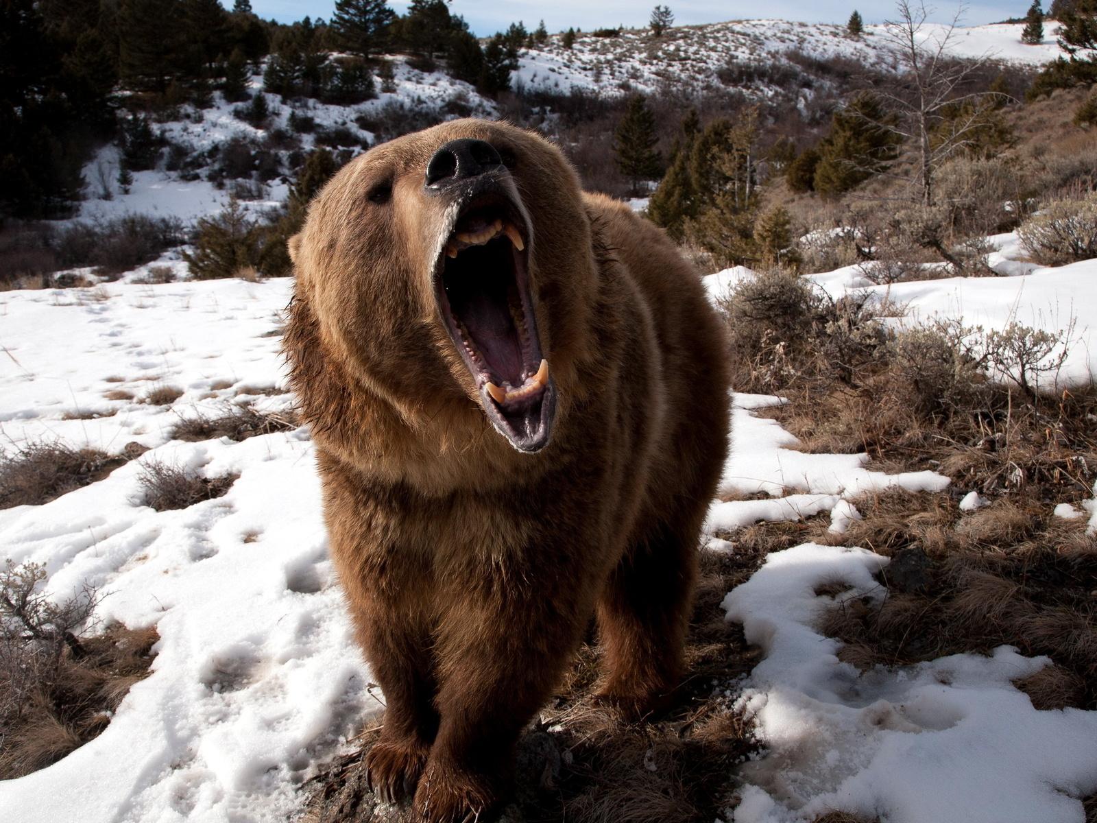 снег, медведь, пасть, клыки